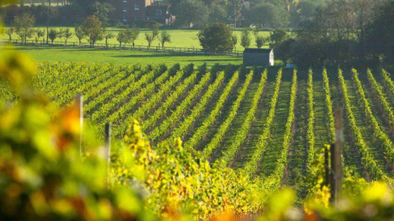 kent vineyard