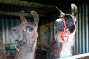 llamas 2 (1 of 1)